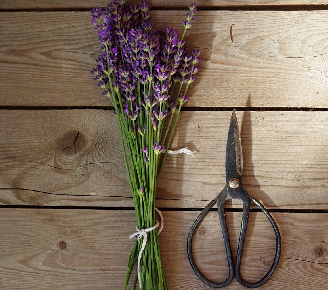 Lavendelstrauß mit Schere auf einem Holztisch